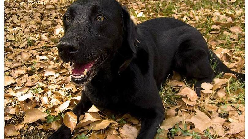 size_810_16_9_Labrador-Retriever