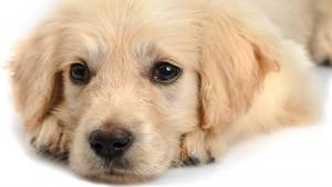 size_810_16_9_Cão_cachorro_bicho_bicho_de_estimação