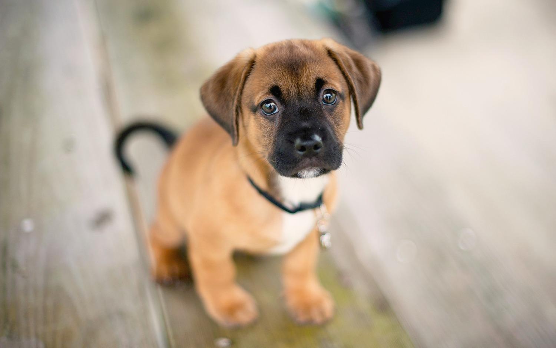 adoção cão